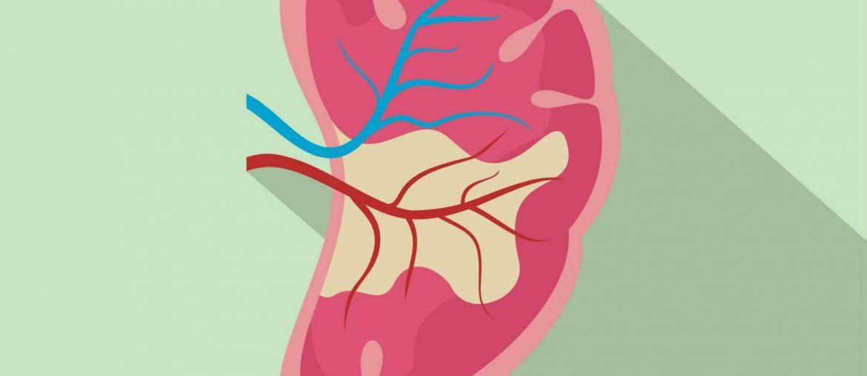 Na imagem, um rim dissecado é mostrado.